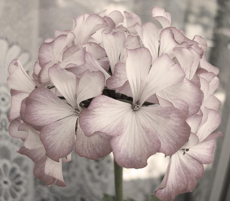geranium_3